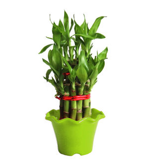 2 Layer Long Stalks Lucky Bamboo in Green Blossom Pot