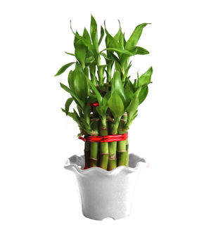 2 Layer Long Stalks Lucky Bamboo in White Blossom Pot
