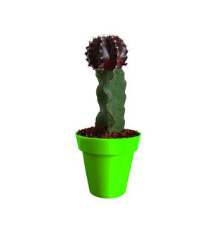 Rolling Nature Black Moon Cactus Plant in Green Colorista Pot