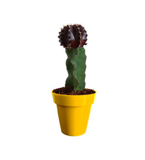 Rolling Nature Black Moon Cactus Plant in Yellow Colorista Pot