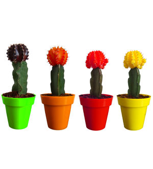 Rolling Nature Moon Cactus Plant Set of 4 in Colorista Pots