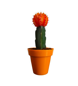 Rolling Nature Orange Moon Cactus Plant in Orange Colorista Pot