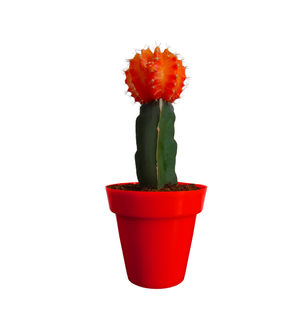 Rolling Nature Orange Moon Cactus Plant in Red Colorista Pot