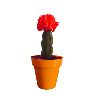 Rolling Nature Red Moon Cactus Plant in Orange Colorista Pot