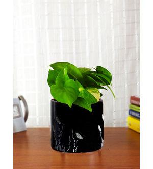 Good Luck Money Plant in Black Barrel Aroez Ceramic Planter
