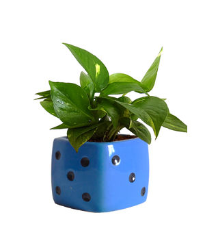 Good Luck Air Purifying Money Plant in Blue Dice Ceramic Pot