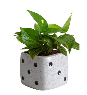 Good Luck Air Purifying Money Plant in White Dice Ceramic Pot