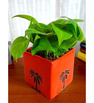 Good Luck Money Plant in Orange Cube Aroez Ceramic Pot