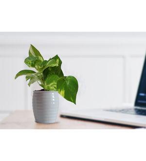 Good Luck Money Plant in White Ceramic Pot
