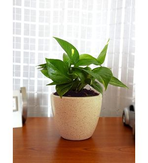 Good Luck Money Plant in Brown Round Dew Ceramic Pot