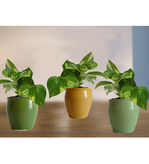 Combo of Good Luck Money Plant in Green, Light Green and Yellow Iris Ceramic Pot