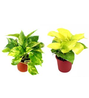 Money Plant and Golden Pothos Combo of Good Luck Plants