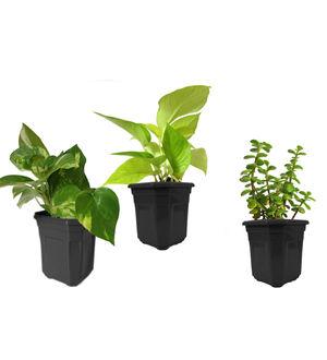 Money Plant Golden Pothos and Jade Combo of Good Luck Plants in Black Hexa Pot