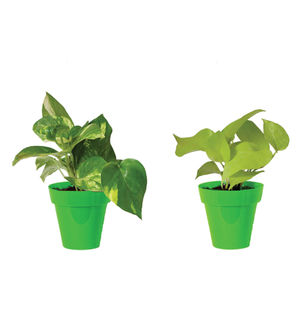 Rolling Nature Combo of Good Luck Money Plant and Golden Pothos in Small Green Colorista Pot
