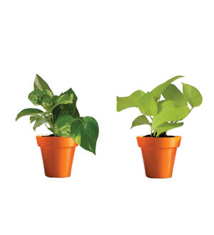 Rolling Nature Combo of Good Luck Money Plant and Golden Pothos in Small Orange Colorista Pot