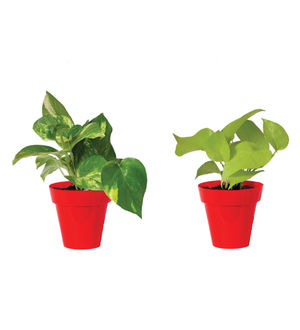 Rolling Nature Combo of Good Luck Money Plant and Golden Pothos in Small Red Colorista Pot