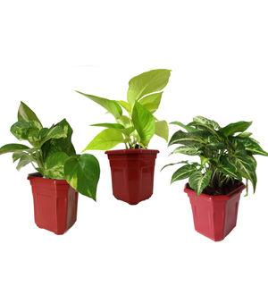 Combo of Good Luck Money Plant, Golden Pothos and Syngonium Green in Maroon Hexa Pot