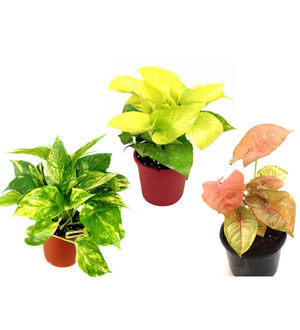 Combo of Good Luck Money Plant, Golden Pothos and Syngonium Pink
