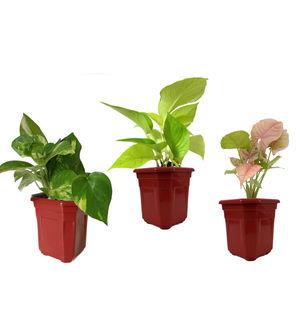 Combo of Good Luck Money Plant, Golden Pothos and Syngonium Pink in Maroon Hexa Pot