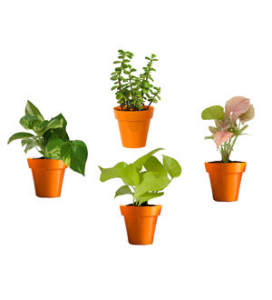 Rolling Nature Combo of Good Luck Money Plant, Golden Pothos, Pink Syngonium and Jade in Small Orange Colorista Pot