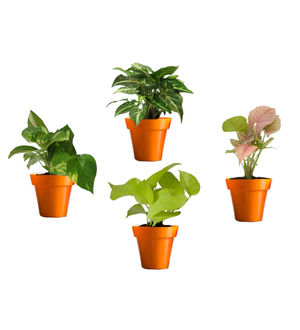 Rolling Nature Combo of Good Luck Money Plant, Golden Pothos, Pink Syngonium and Syngonium Green in Small Orange Colorista Pot