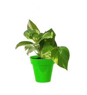 Rolling Nature Good Luck Money Plant in Small Green Colorista Pot