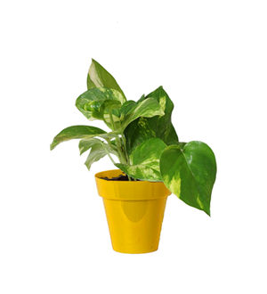 Rolling Nature Good Luck Money Plant in Small Yellow Colorista Pot