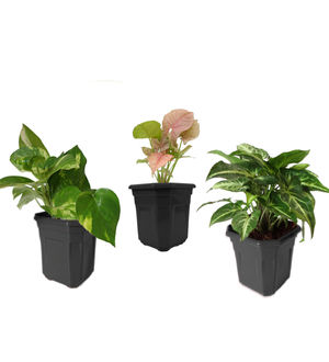 Combo of Good Luck Money Plant, Pink Syngonium and Syngonium Green in Black Hexa Pot