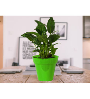 Good Luck Peace Lily in Green Colorista Pot