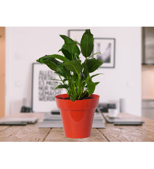 Good Luck Peace Lily in Red Colorista Pot