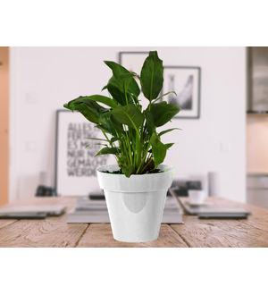 Good Luck Peace Lily in White Colorista Pot