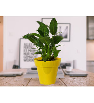 Good Luck Peace Lily in Yellow Colorista Pot