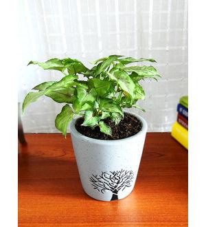 Good Luck Green Syngonium Plant White Bucket Aroez Ceramic Pot
