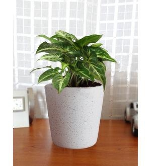 Good Luck Air Purifying Live Green Syngonium Plant SGCEBUDW-W