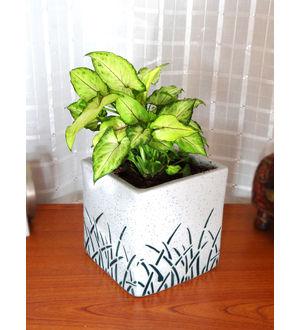 Good Luck Green Syngonium in Medium White Square Aroez Ceramic Pot