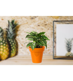 Good Luck Green Syngonium in Small Orange Colorista Pot