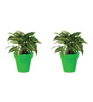 Rolling Nature Combo of Good Luck Syngonium Green Plant in Small Green Colorista Pot Set of 2