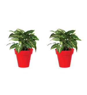 Rolling Nature Combo of Syngonium Green in Small Red Colorista Pot Set of 2