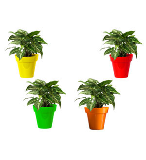 Rolling Nature Combo of Good Luck Syngonium Green Plant in Small Red, Green, Yellow and Orange Colorista