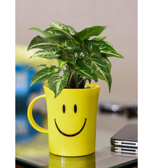 Good Luck Syngonium Green in Smiley Cup