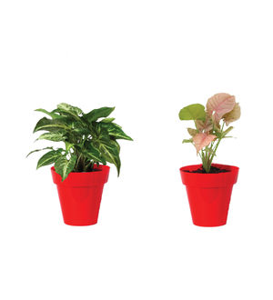Rolling Nature Combo of Good Luck Syngonium Green and Syngonium Pink in Small Red Colorista Pot