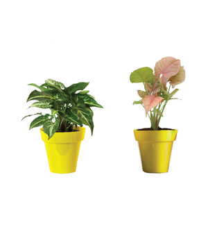 Rolling Nature Combo of Good Luck Syngonium Green and Syngonium Pink in Small Yellow Colorista Pot