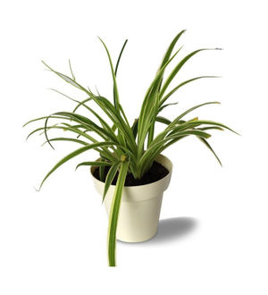 Rolling Nature Spider Plant in White Colorista Pot