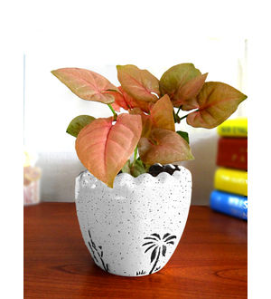 Good Luck Air Purifying Live Pink Syngonium Plant SPCERUAR-W