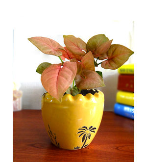 Good Luck Air Purifying Live Pink Syngonium Plant SPCERUAR-Y
