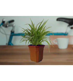 Air Purifying Spider Plant in Brown Hexa