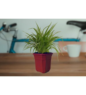 Air Purifying Spider Plant in Maroon Hexa Pot
