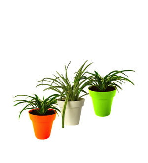 Air Purifying Spider Plant Tricolor Colorista Combo