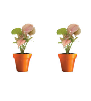 Rolling Nature Combo of Good Luck Syngonium Pink Plant in Small Orange Colorista Pot Set of 2