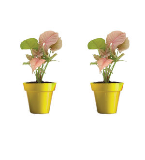 Rolling Nature Combo of Good Luck Syngonium Pink Plant in Small Yellow Colorista Pot Set of 2